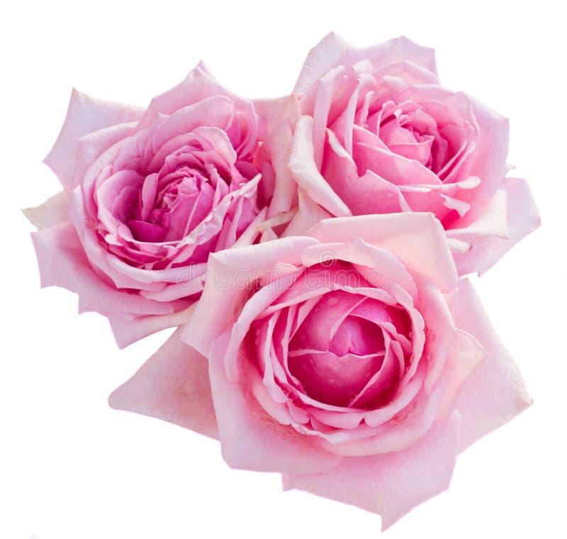 Três rosas de florescência cor-de-rosa fotos de stock royalty free