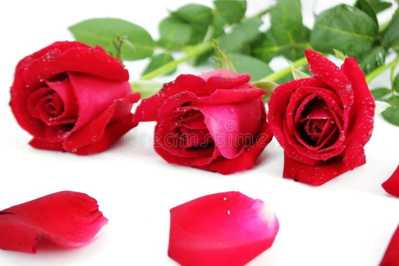 Três rosas vermelhas fotos de stock royalty free