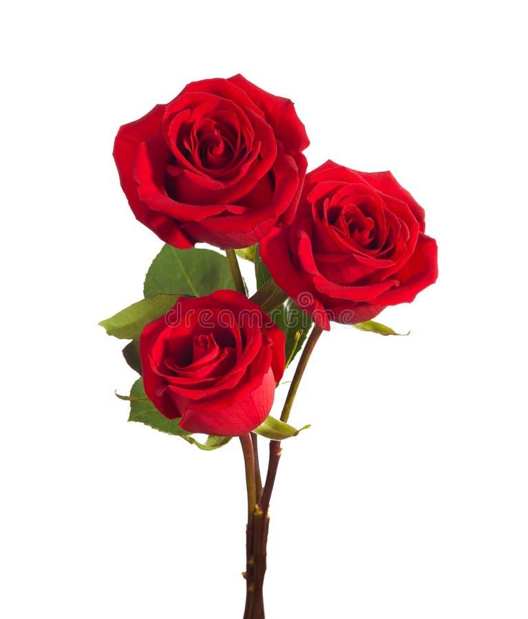 Três rosas vermelhas brilhantes isoladas no fundo branco fotografia de stock