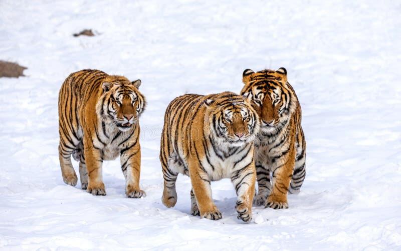Três tigres Siberian estão andando em uma clareira nevado China harbin Província de Mudanjiang Parque de Hengdaohezi Siberian Tig fotografia de stock
