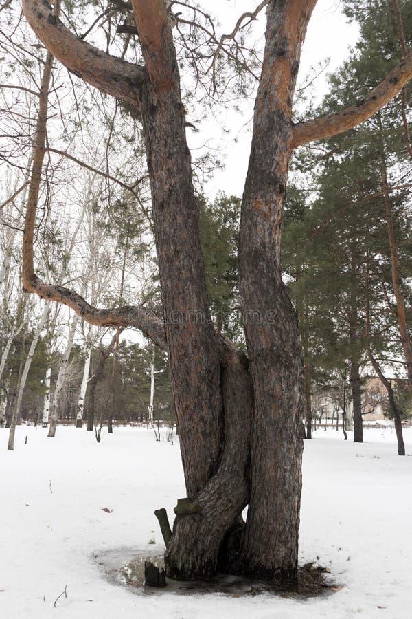 Três troncos do pinho em um dia nebuloso do inverno imagens de stock