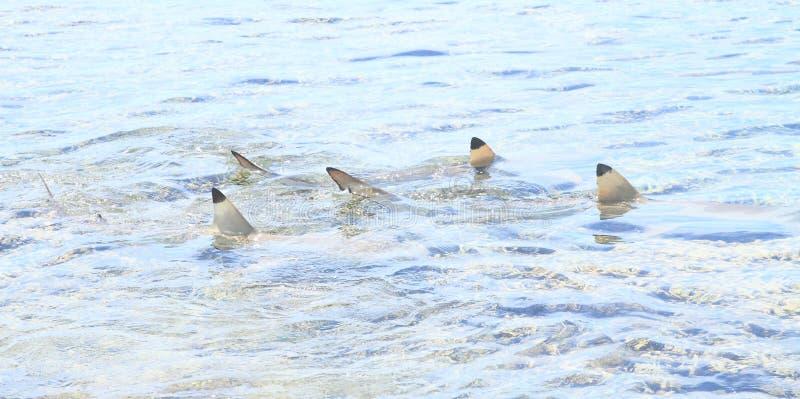 Três tubarões do recife do blacktip imagem de stock royalty free