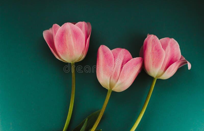 Três tulipas cor-de-rosa foto de stock royalty free
