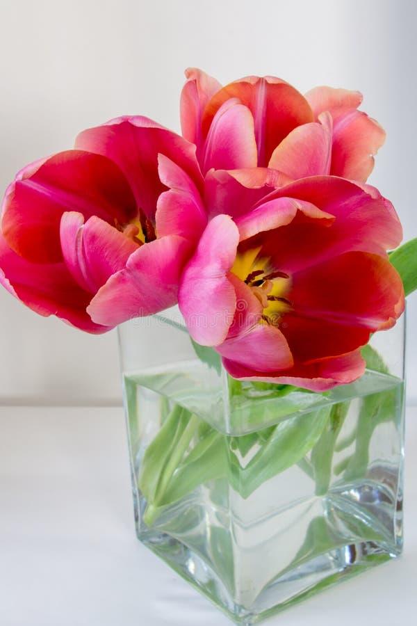 Três tulipas cor-de-rosa em um vaso de vidro cúbico em um fundo branco imagem de stock royalty free