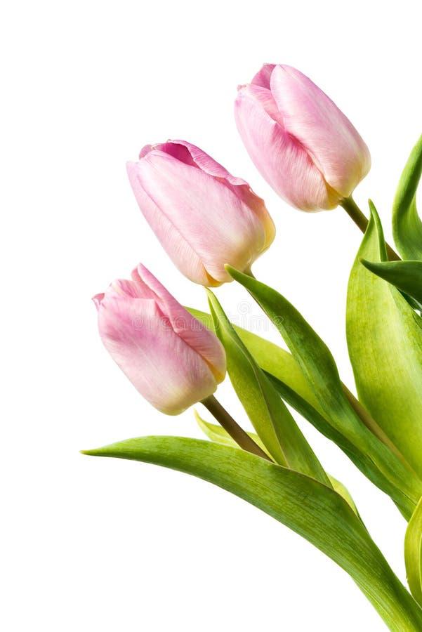 Três tulipas cor-de-rosa frescas isoladas no fundo branco fotografia de stock royalty free