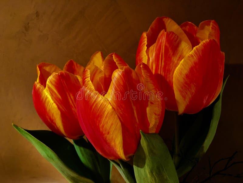 Três tulipas frescas na laranja brilhante na frente de uma parede marrom foto de stock