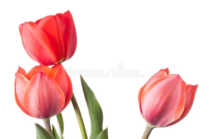 Três tulipas isoladas sobre fundo branco imagem de stock