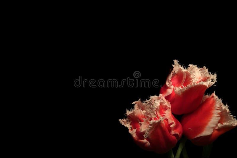 Três tulipas vermelhas do Louvre com bordas brancas no fundo preto fotos de stock