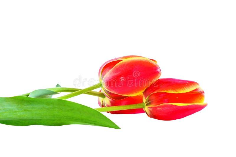 Três tulipas vermelhas isoladas no fundo branco foto de stock royalty free