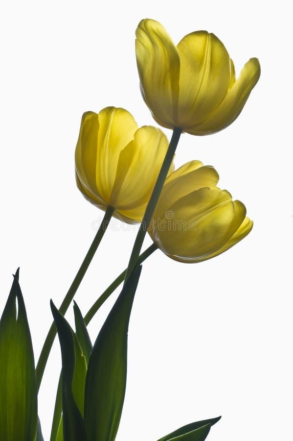 Três Tulips amarelos retroiluminados foto de stock royalty free
