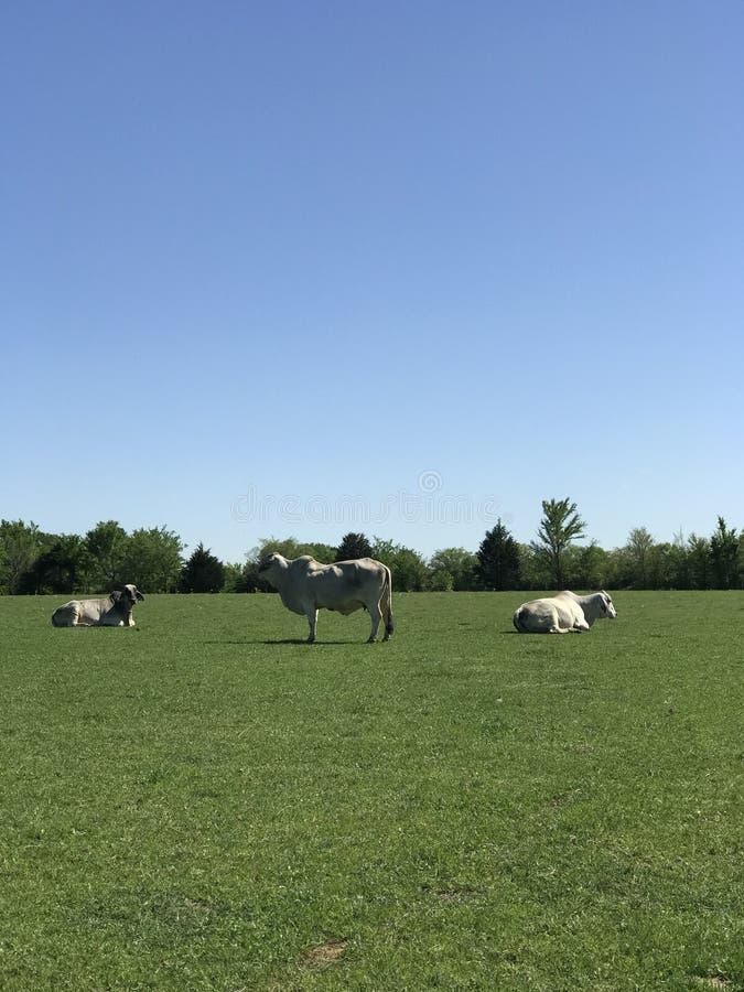 Três vacas de Brahma foto de stock royalty free
