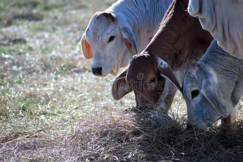 Três vacas de Brahma que comem o feno imagens de stock