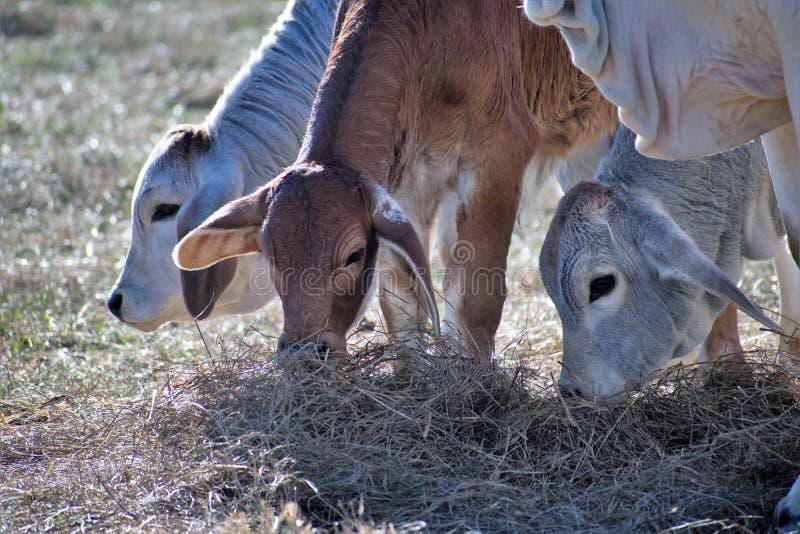Três vacas de Brahma que comem o feno imagem de stock royalty free