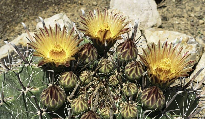 Três vermelhos e flores listradas amarelas em um cacto de tambor do anzol do Arizona imagem de stock royalty free