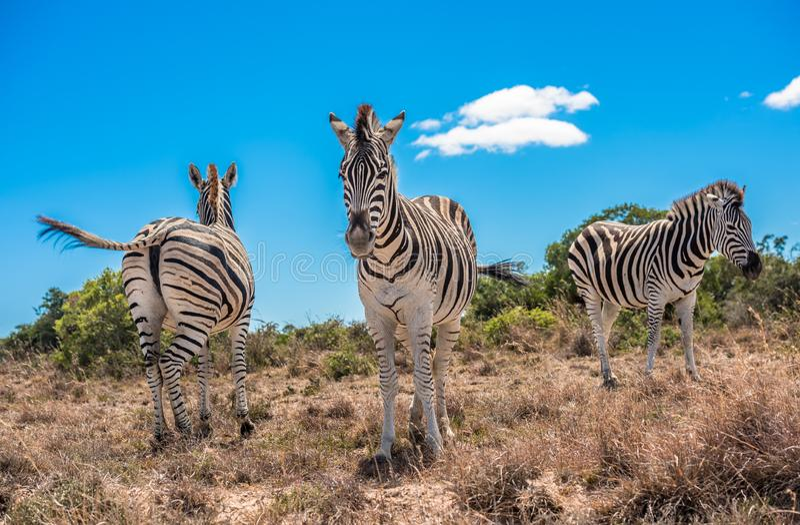 Três zebras sobre o fundo azul do céu nebuloso fotos de stock