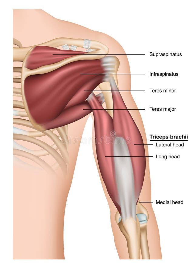 Tríceps del Musculus - ejemplo médico del brachii 3d en el fondo blanco, brazo humano de detrás stock de ilustración