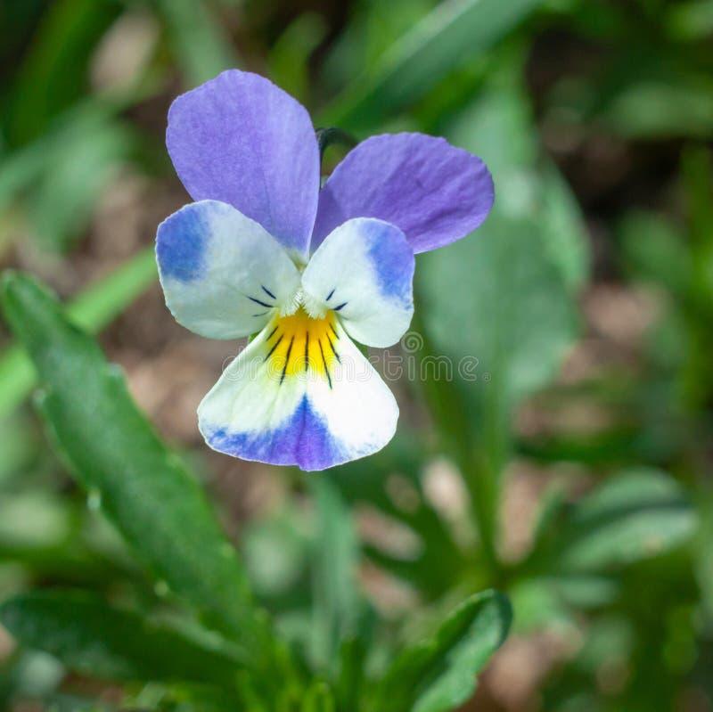 Trícolor bonito de Víola da flor imagem de stock