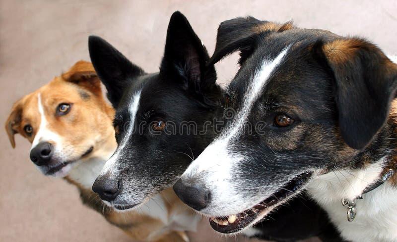 Trío canino expectante imagenes de archivo