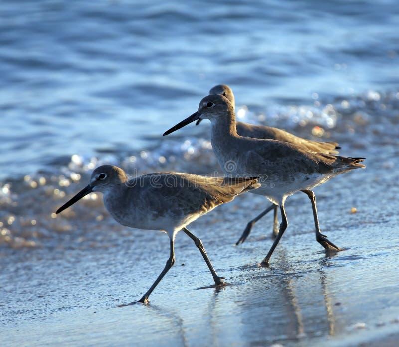 Trío de aves costeras imagen de archivo libre de regalías