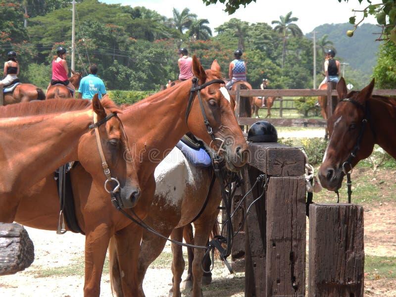 Trío de caballos en el rancho en Jamaica fotografía de archivo