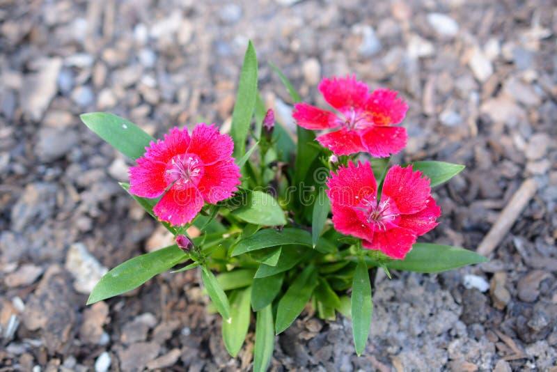 Trío de flores rosadas florecientes imágenes de archivo libres de regalías