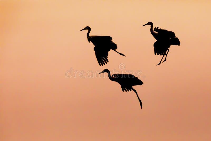 Trío de las grúas de Sandhill que se preparan para aterrizar en la puesta del sol fotografía de archivo libre de regalías