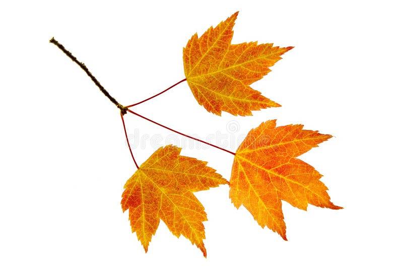 Trío de las hojas de arce de la caída fotografía de archivo libre de regalías
