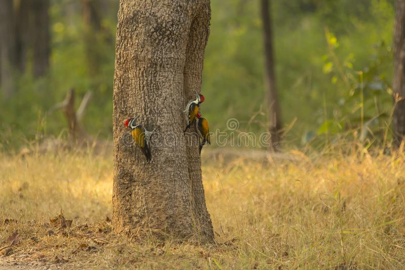 Tr?o de Lesser Golden-Backed Woodpeckers imagen de archivo