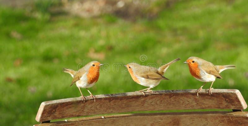 Trío de los animales de animales domésticos del prado del jardín del país de los pájaros de los petirrojos foto de archivo libre de regalías