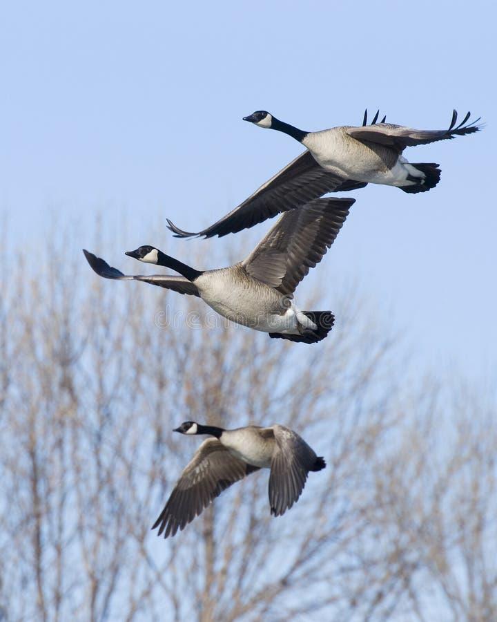 Trío de los gansos del vuelo imagen de archivo libre de regalías
