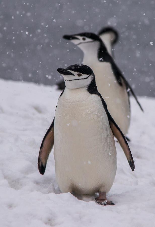 Trío de los pingüinos de Chinstrap que caminan en la Antártida imágenes de archivo libres de regalías