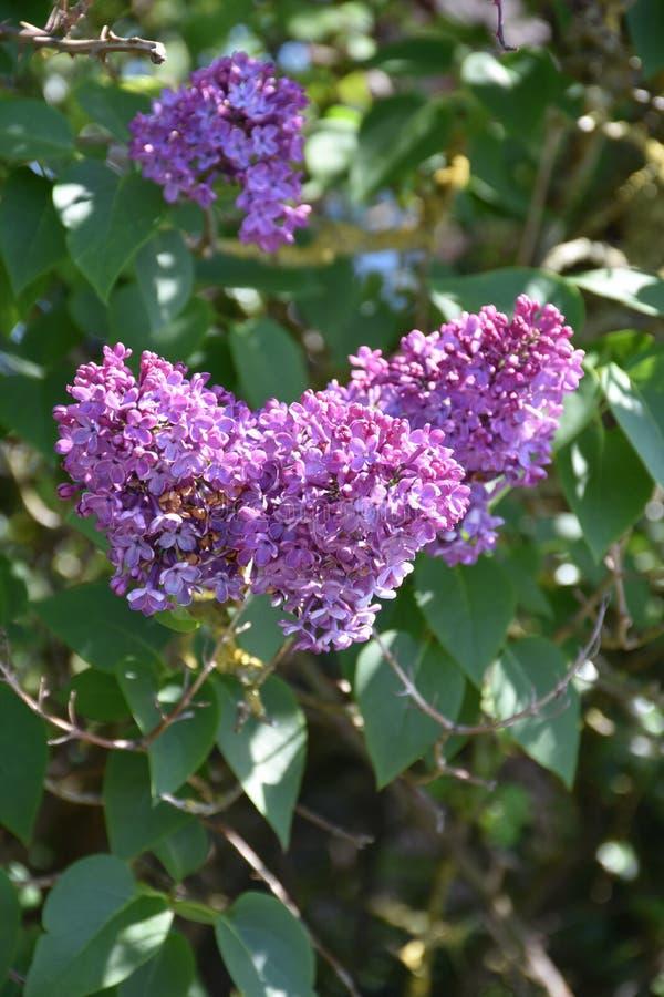 Trío de los racimos púrpuras de la lila que florecen en flores imagen de archivo