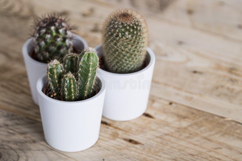 Trío de tres plantas del cactus fotografía de archivo libre de regalías