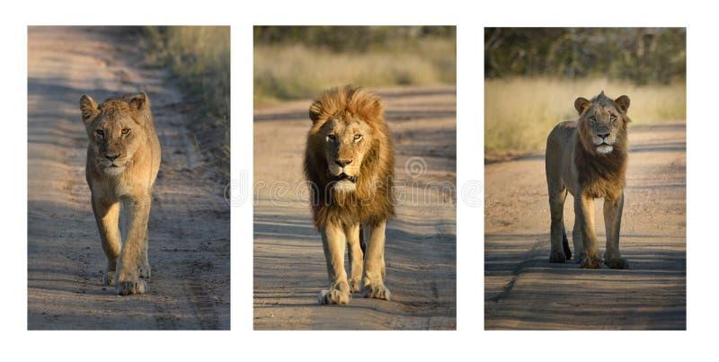 Trío del león Hembra, varón y varón joven en el camino de la arena fotografía de archivo