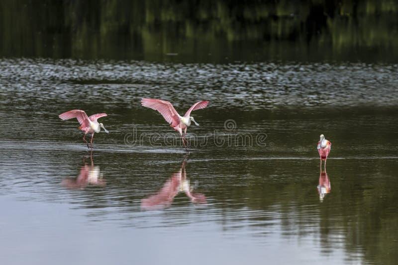 Trío del Spoonbill - Spponbills rosado en la Florida imágenes de archivo libres de regalías
