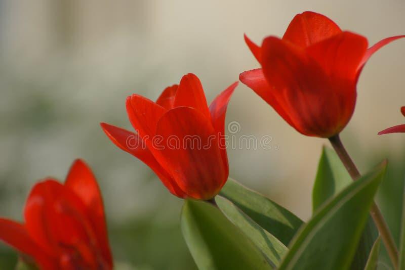Trío del tulipán fotografía de archivo