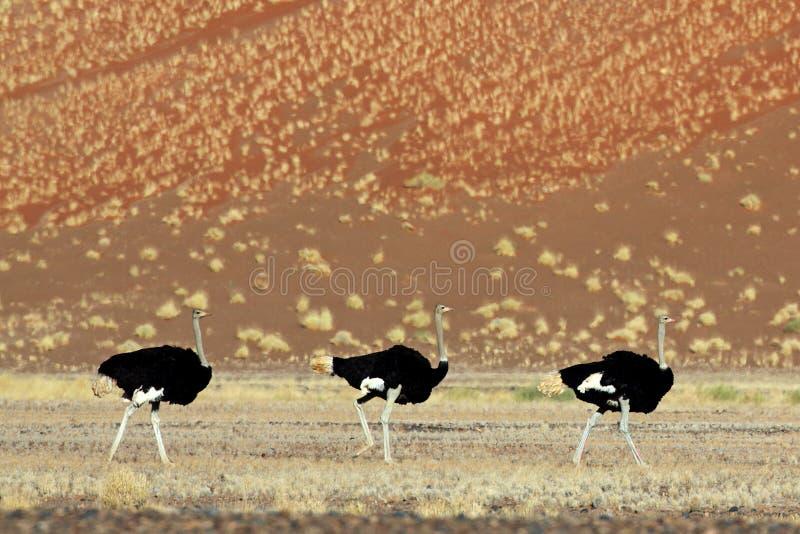 Trío masculino de la avestruz que sigue a una hembra, desierto de Namib foto de archivo libre de regalías