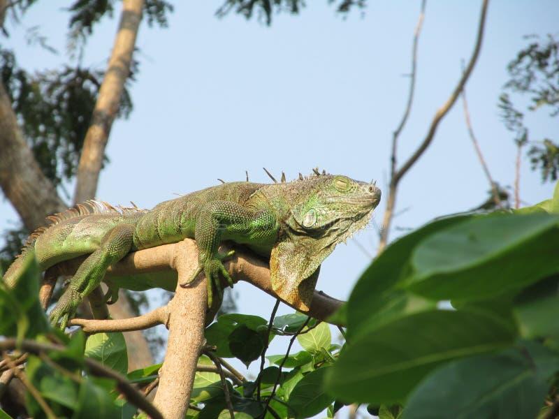 Trópicos exóticos Ásia Tailândia dos répteis da iguana foto de stock royalty free
