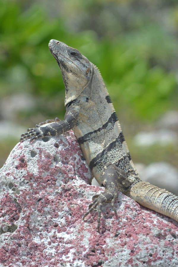 Trópicos exóticos selvagens México dos répteis da iguana imagem de stock