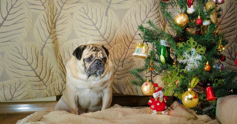 Trög, lat tråkig hund på ferier för nytt år det tjocka feta husdjuret är ledset lisma mops sitter nära julträd, beige royaltyfri bild