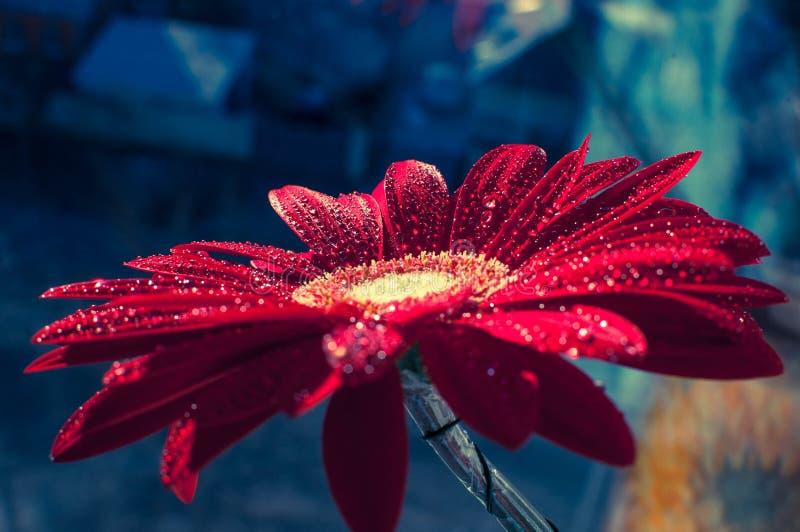 Tröpfchen auf den Blumenblättern lizenzfreies stockbild