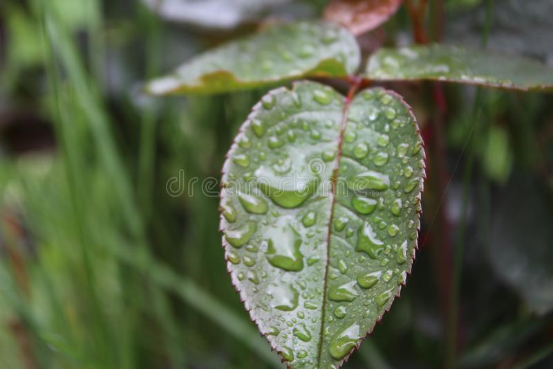 Tröpfchen, Wassertropfen, Regen auf Rosenblättern im Garten stockbild
