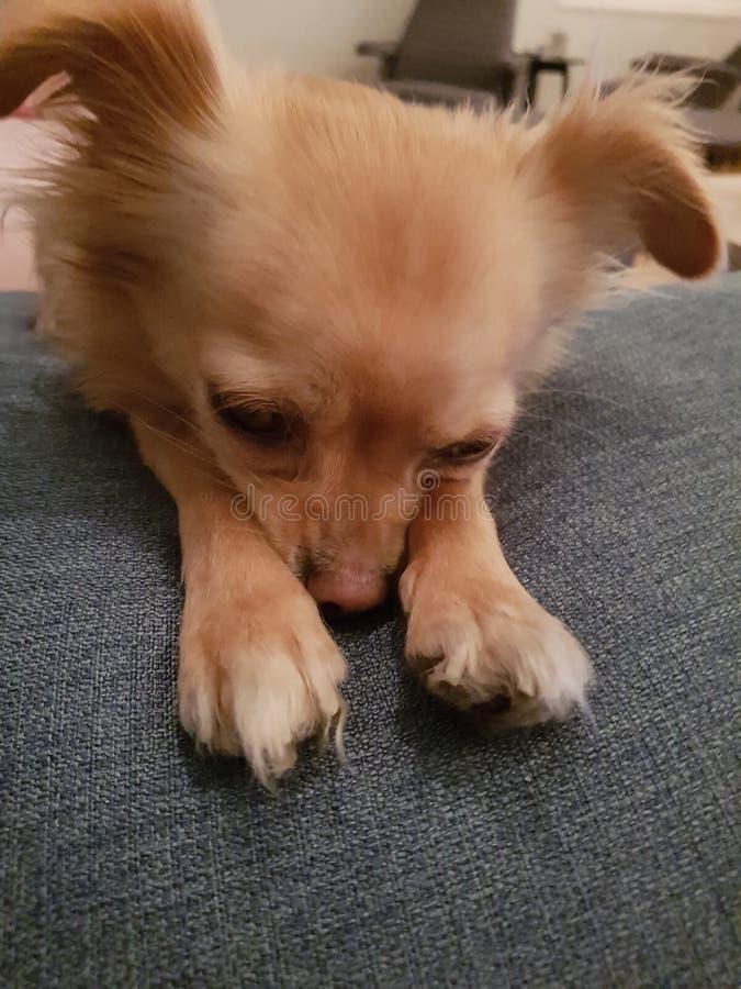 Trött hund som försöker att sova arkivbilder