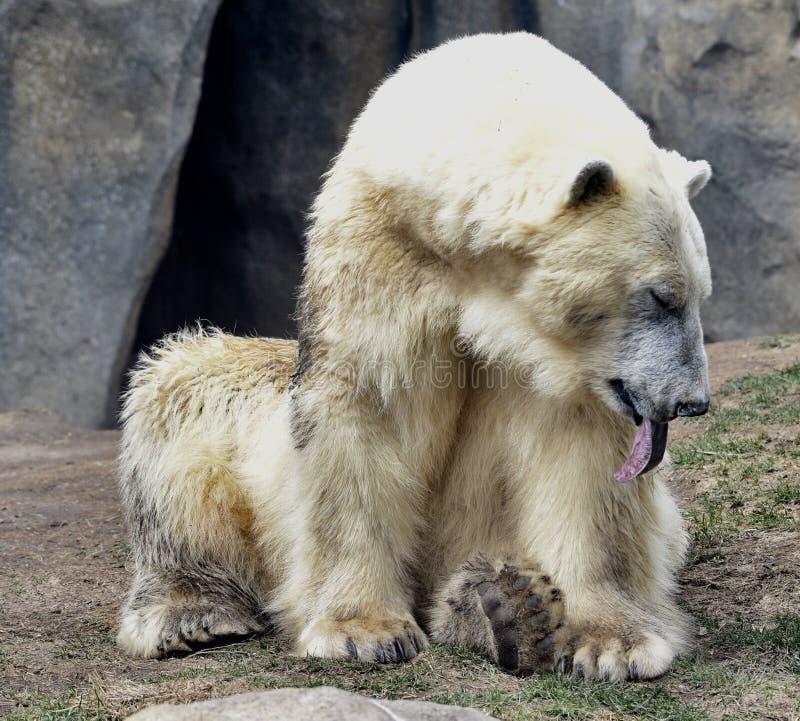 Trött kvinnlig isbjörn royaltyfria foton
