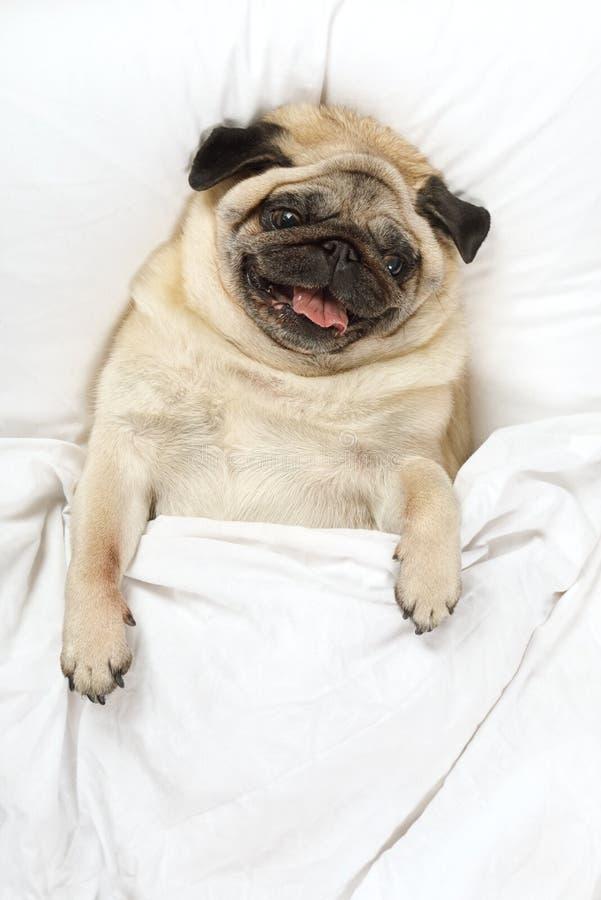 Trött mopshund som vilar i säng arkivfoton