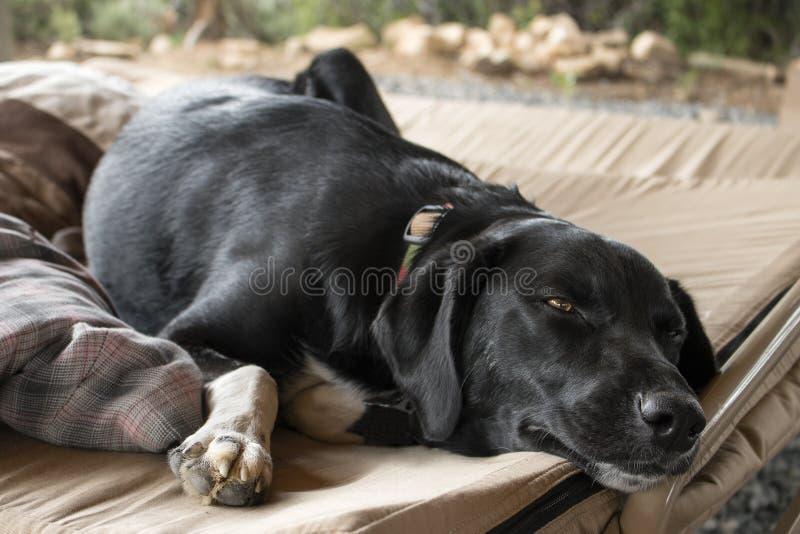 Trött svart labbhund som lägger på en säng royaltyfri fotografi