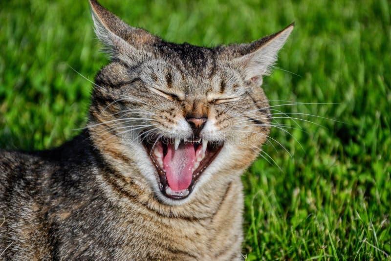 Trötta randiga kattgäspningar Stående av den inhemska kort-haired strimmig katttom katten som kopplar av i trädgården Slut upp av royaltyfria foton