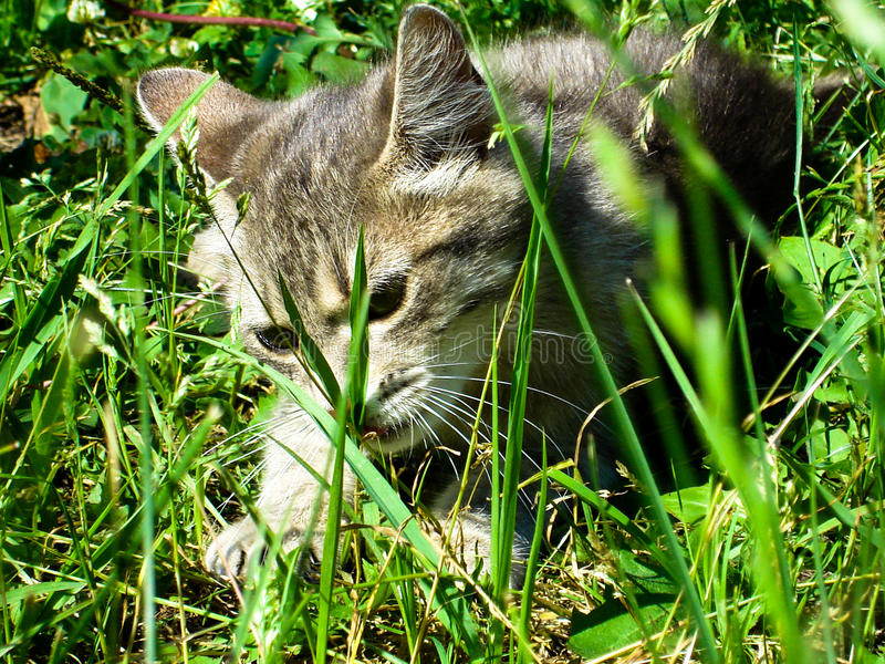 Trötta randiga kattgäspningar Stående av den inhemska kort-haired strimmig katttom katten som kopplar av i trädgården Slut upp av royaltyfri bild