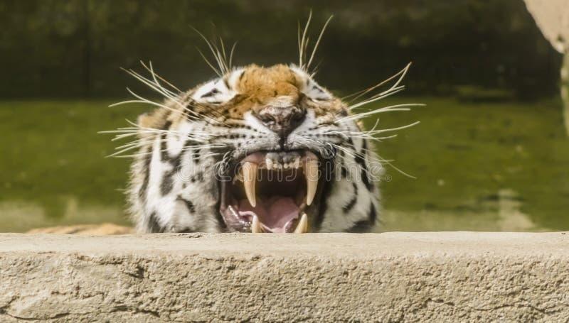tröttad tiger royaltyfri bild