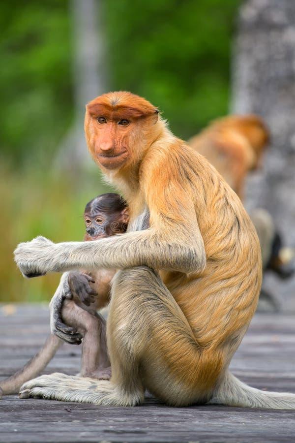 Trąbiasta małpa endemiczna Borneo (Nasalis larvatus) zdjęcie stock